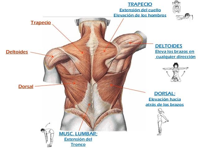 musculo deltoides y trapecio