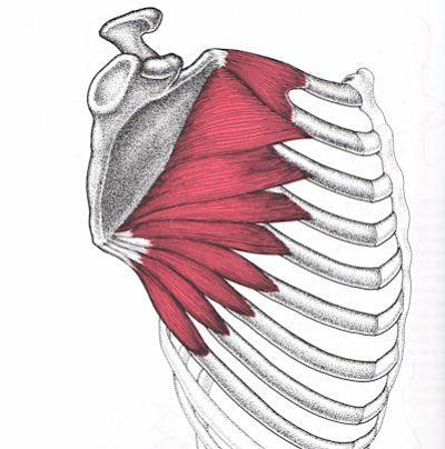 musculo serrato anterior